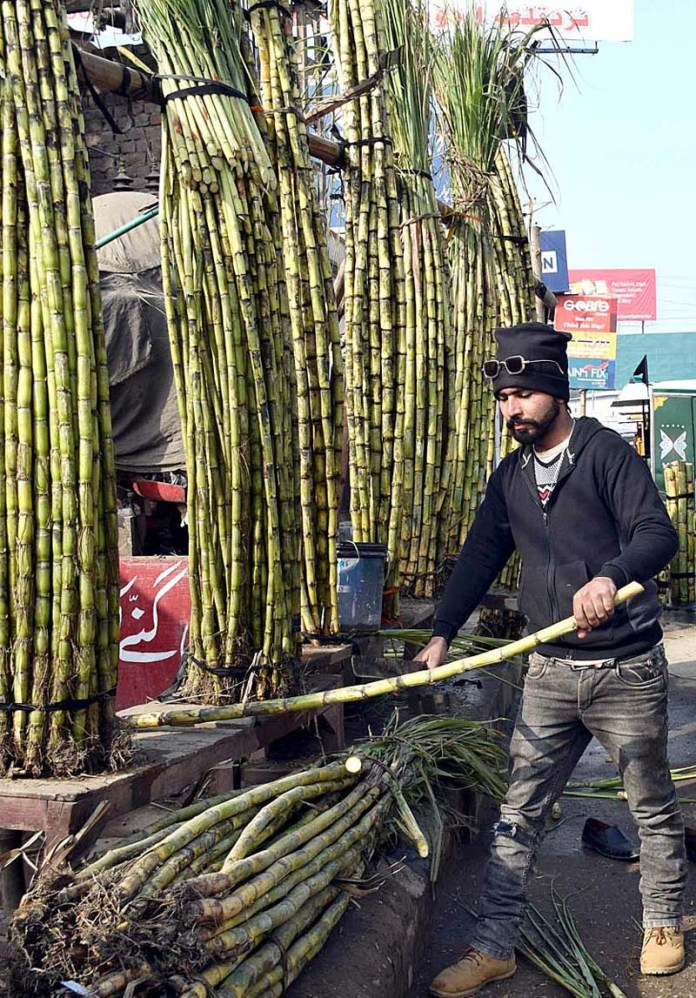 A vendor displaying and arranging sugarcanes to attract the customers at his roadside setup