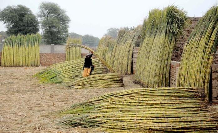 Vendor busy in arranging and displaying bundle of sugarcane at market
