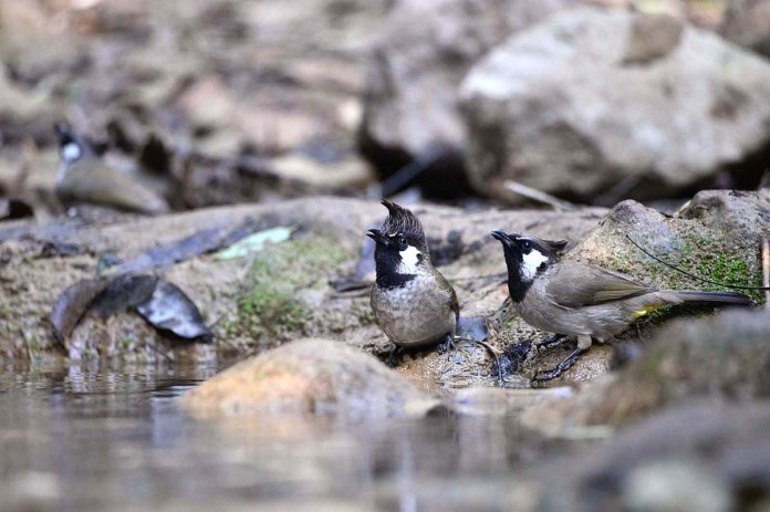 Beautiful Himalayan Bulbuls drinking water from a stream at Trail 5 Margala hills National Park