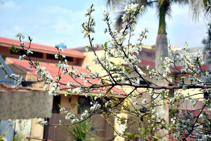 A view of seasonal flowers flourishing and blooming on a roadside tree to mark spring season in the city