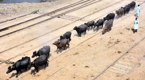A herd of buffalos on the rail tracks may cause an serious mishap; as the owners and railway authorities remain oblivious to the danger