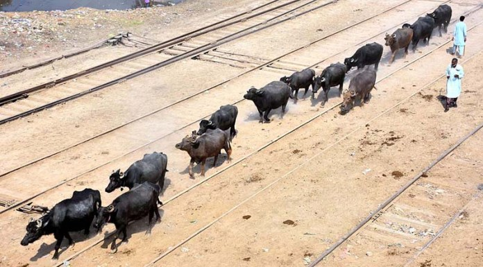 A herd of buffalos walking on the rail tracks may cause any mishap and needs the attention of concern authorities