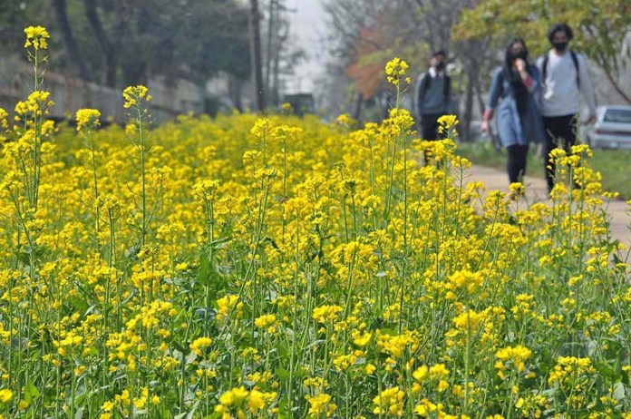 An attractive view of mustard flowers flourishing and blooming along roadside greenbelt in H-8 sector in Federal Capital