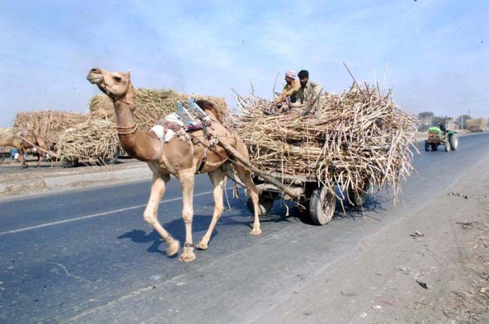 Sugar cane-laden camel cart in on its way in the city
