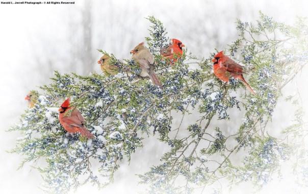 Northern Cardinals On Cedar Tree In Lee County