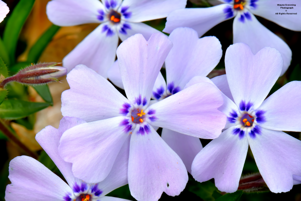 Beauty of Early Spring Phlox