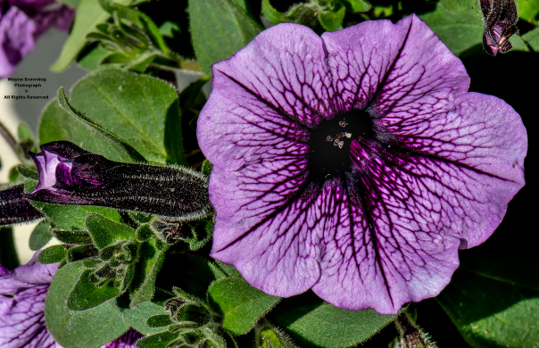 Hairy Petunia Hybrid - Sherri's Sassy Scissors In Clintwood