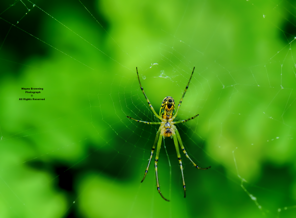 Golden Orb Weaver ( Nephilidae ) Species