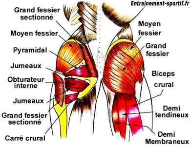 Le Muscle Fessier Muscu Maison