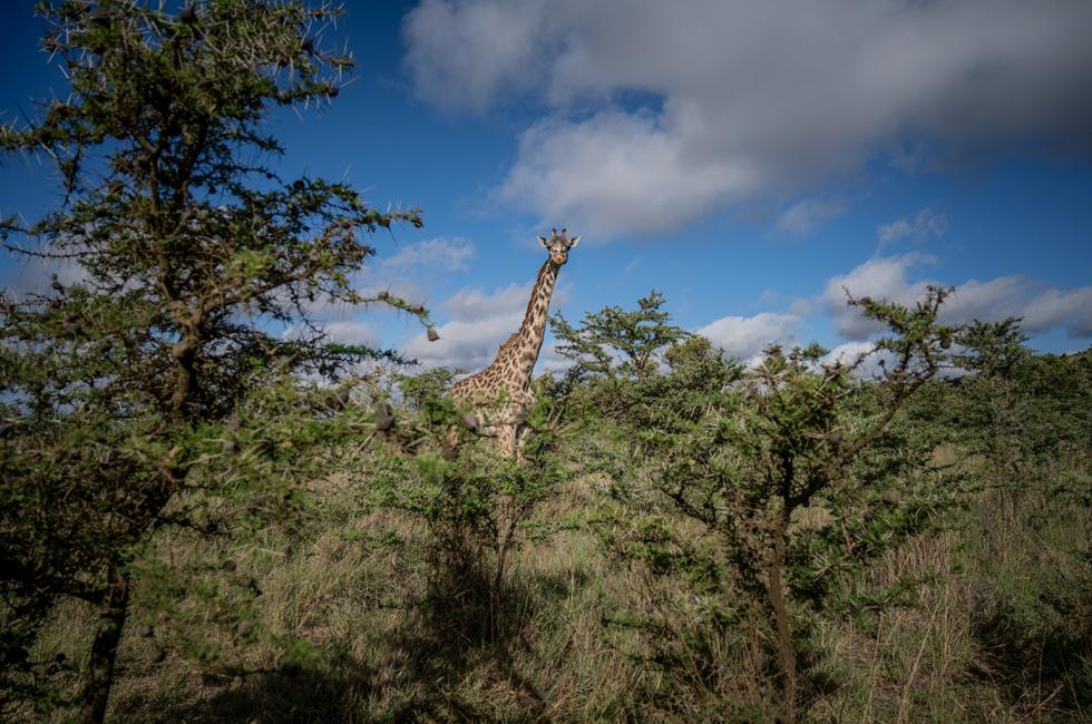 A giraffe in a savanna in Kenya.