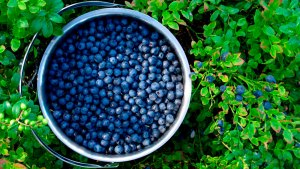 Blueberry Bucket Picking