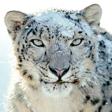 snow-leopard-wps