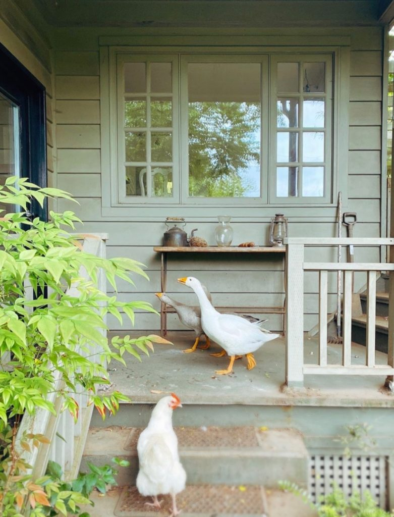 the three geese honking for a companionable chat on the stoop, followed by a curious hen.
