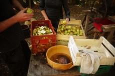 Découpe des pommes