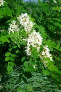 Fleures de robinier faux accacia