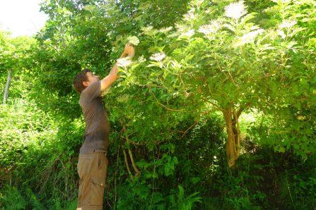 Cueillette de fleures de surreau