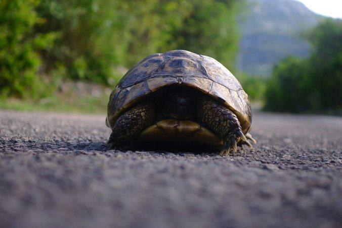 Les tortues Herman sont partout