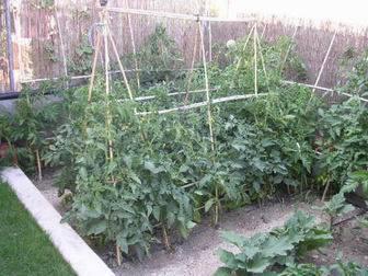 guiar tomateras