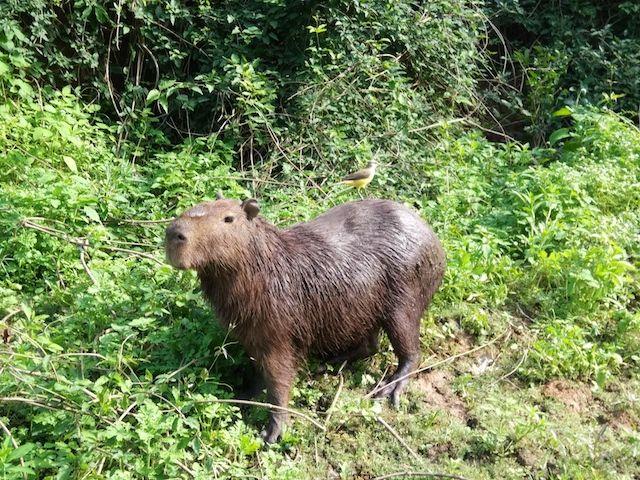 Capibara amazonas bolivia beni