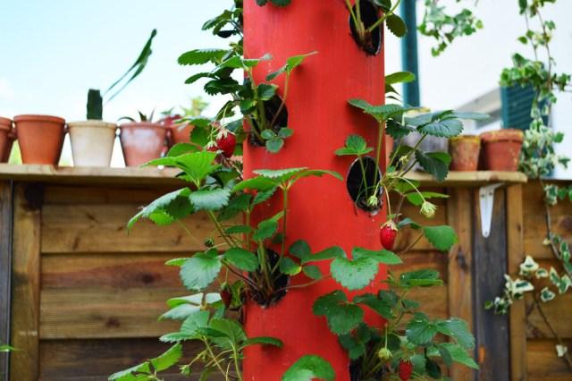 Tutoriel jardinage colonne fraises