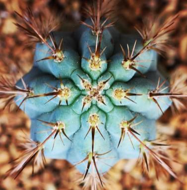 Cactus Mammillaria par Aaron Macmann
