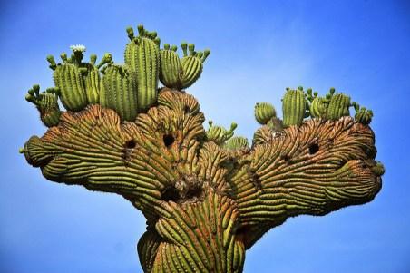 Saguaro Cristata par Dan Sorensen