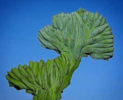 Cactus Cristata par Hernan Guillermo