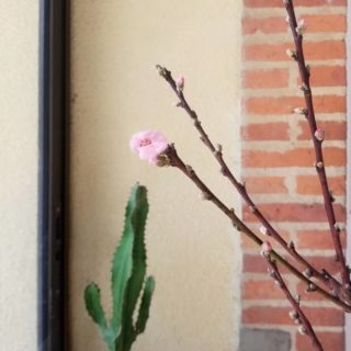 🌸 𝚂𝚙𝚛𝚒𝚗𝚐 𝚟𝚒𝚋𝚎𝚜 🌸 Je sais que techniquement ce n'est pas le printemps mais mon nectarinier a l'air d'y croire, alors moi aussi 🤷♀️ __________________________________ #printemps #springvibes #cactus #printemps2021 #fruitier #naturelovers #flowerpower #prunus #springiscoming #maredacwebpetitsplaisirs
