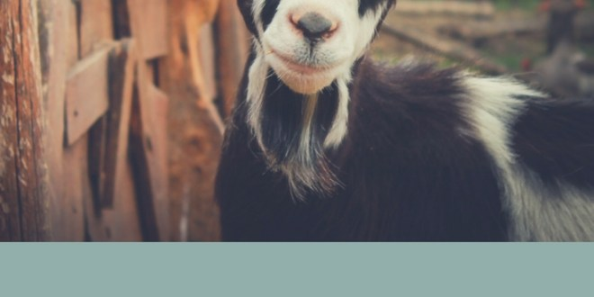 7 Tips for Making Noisy Goats Quiet