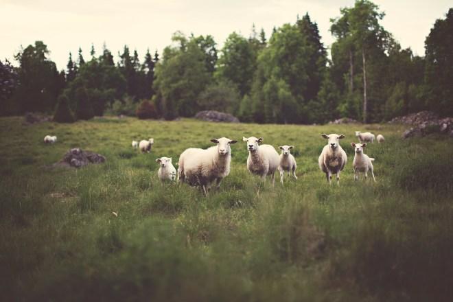 sheep-336474_1920