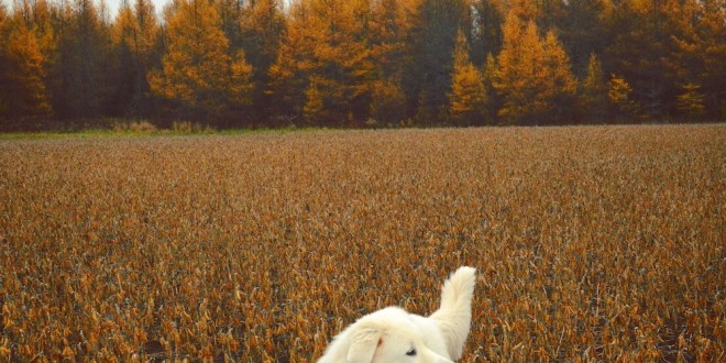 Livestock Guardian Dogs: Are They Right For Your Farm?