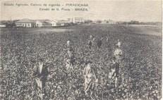 Alunos da ESALQ plantavam e colhiam algodão