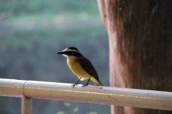 Pássaro aguarda visitantes da Rua do Porto saírem de suas mesas para comer grãos de alimentos - Foto: Cynthia da Rocha