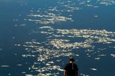 A morte de peixes no Rio Piracicaba no dia 12 de Fevereiro de 2014 foi uma das cenas mais tristes que precisei fotografar. Foto: Benedito Adilson Zavarize – MTB 69022