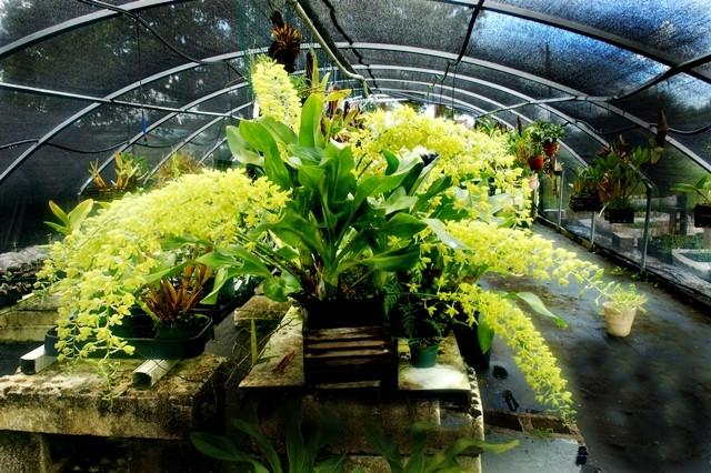 A maior orquídea do mundo – Grammathophylum