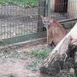 puma zoo 2