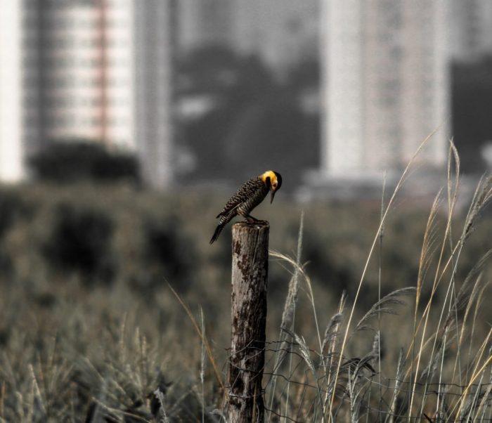 Registro de pica-pau compoe mostra fotografica FOTO BRUNO FERNANDES