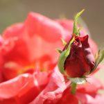 Rosa – Cynthia da Rocha