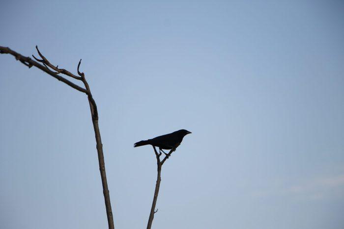 Pássaro Preto – Cynthia da Rocha