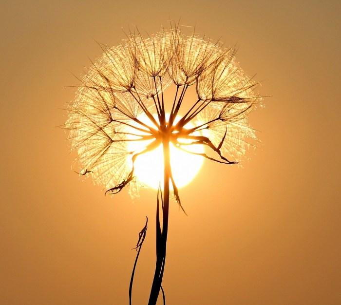 dandelion-1557110_1920_OK