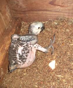 Filhote de arara azul nascido no ninho artificial adotado pelo Instituto Equipav