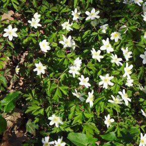 Au printemps, champs de ... dans les sous bois