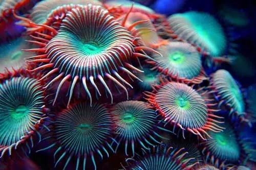 Corales zoas