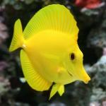 Yellow-Tang-Images