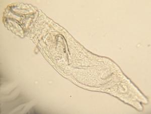 Gyrodactilus)