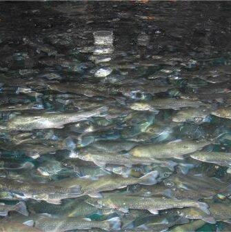 High Density Fish Culture