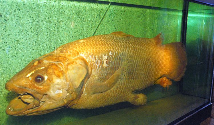 The Coelacanth A Living Fossil Ocean Wises AquaBlog