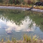 Lily planting commercial pond