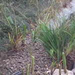 Commercial aquatic planting