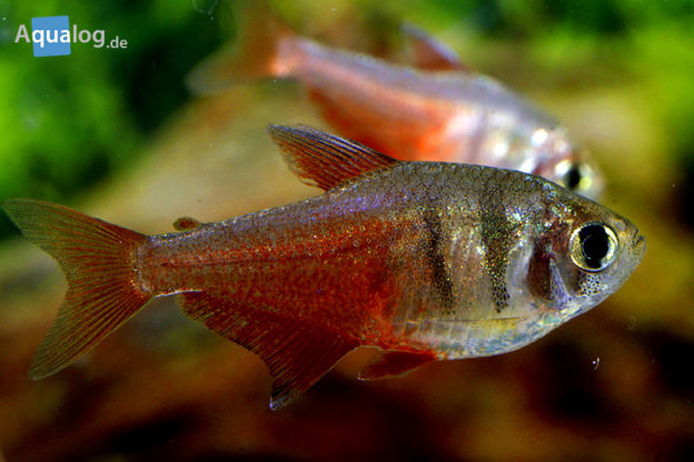 keeping ornamental fishes outdoors in